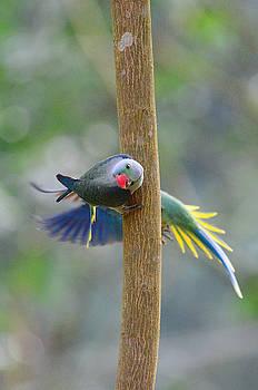 Blue-winged parakeet by Balram Panikkaserry