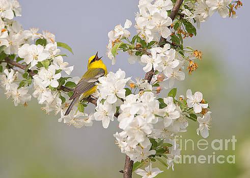 Blue-winged Warbler by Joshua Clark
