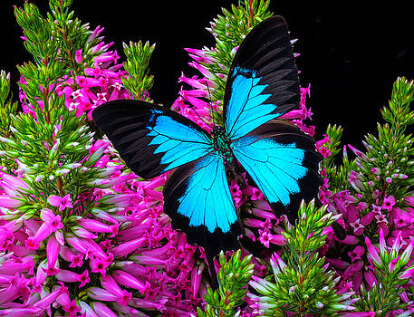 Blue Wings On Pink Flowers by Garry Gay