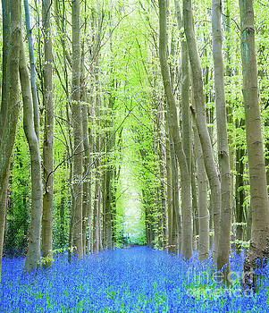 Bluebell Forest Cathedral by Beth Riser