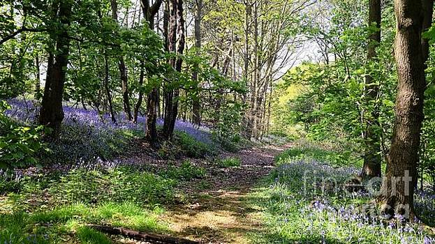 Bluebell Walk by John Chatterley