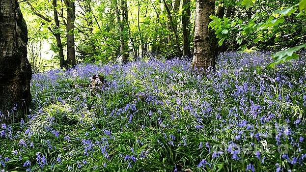 Bluebell Wood 2 by John Chatterley