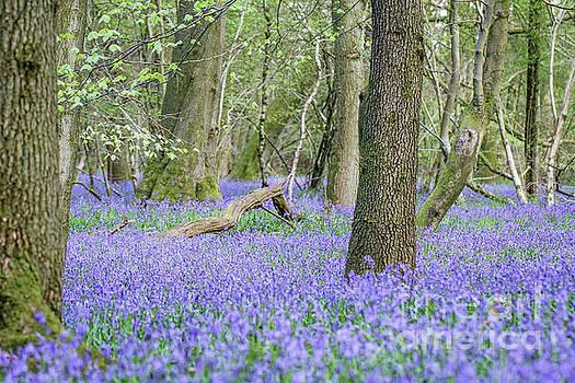 Bluebell Wood - Hyacinthoides non-scripta - Surrey , England by Paul Farnfield