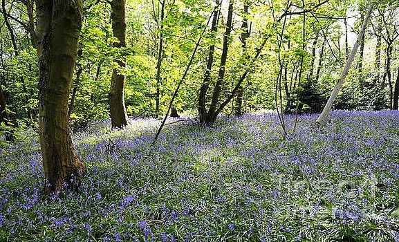 Bluebell Wood by John Chatterley