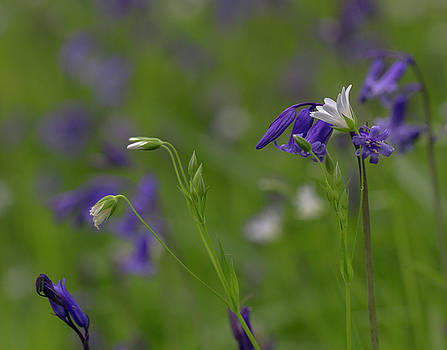 Bluebells and Stitchwort  by Diane Fifield