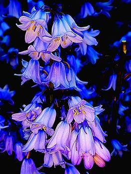 Colin Drysdale - Bluebells