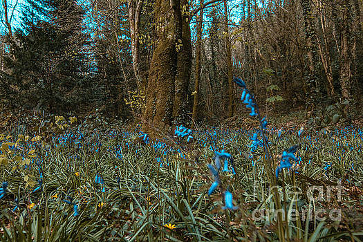 Marc Daly - Bluebells in Lismore forest