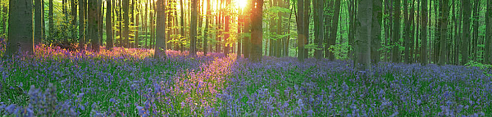 Bluebells In Morning Sun  by John Chivers