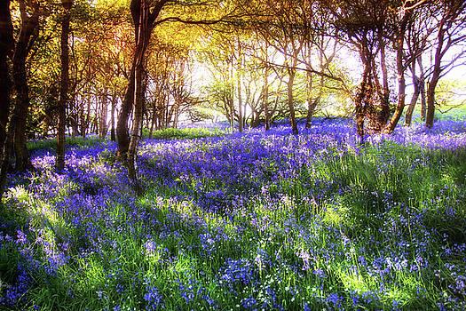 Scott Masterton - Bluebells Wood