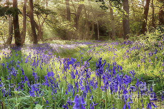 Bluebells woodland path with glowing sunrise light by Simon Bratt Photography LRPS