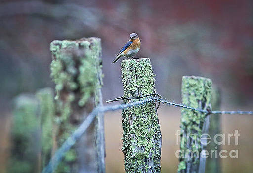 Bluebird 040517 by Douglas Stucky