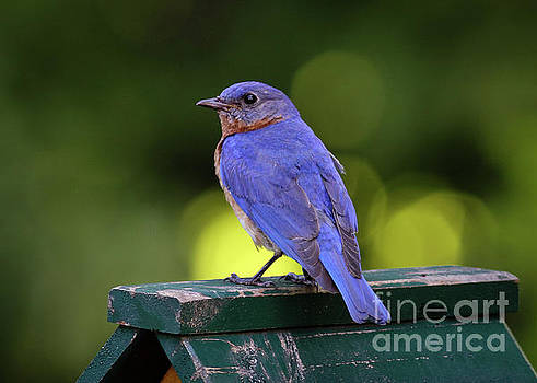 Bluebird 0618162 by Douglas Stucky