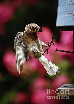 Bluebird 0726162 by Douglas Stucky