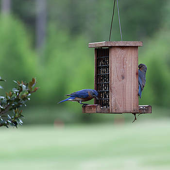 Bluebird Couple Sharing the Feeder by Suzanne Gaff