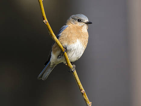 Bluebird Female by Andy Smetzer