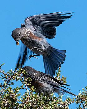 Bluebird Leapfrog by Mike Dawson