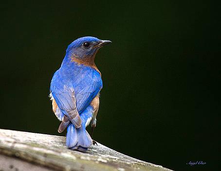 Bluebird Male by Angel Cher