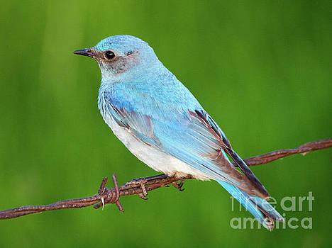 First Bluebird of Spring by Felix Choo