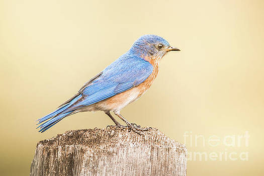 Bluebird On Fence Post by Robert Frederick