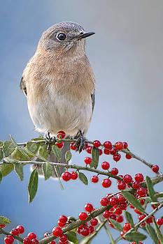 Bluebird on Holly Branch by Bonnie Barry