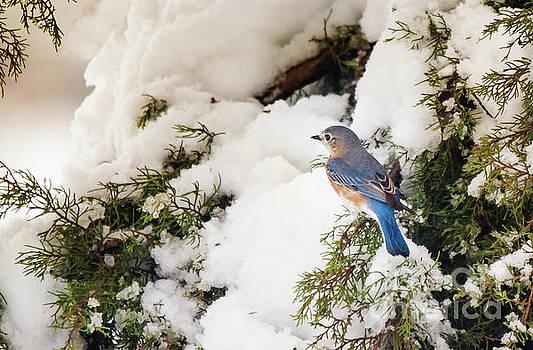 Bluebird On Snow-Laden Cedar by Robert Frederick