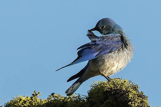 Bluebird Preening by Sandy Brooks