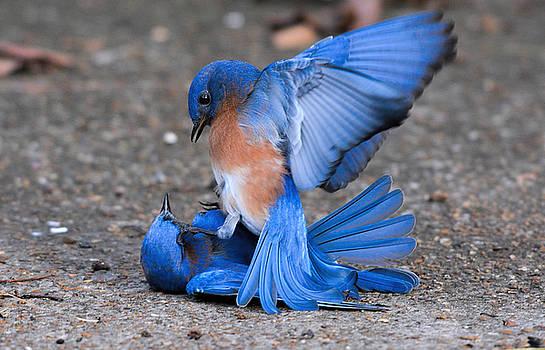 Bluebirds Fighting 011020164378 by WildBird Photographs
