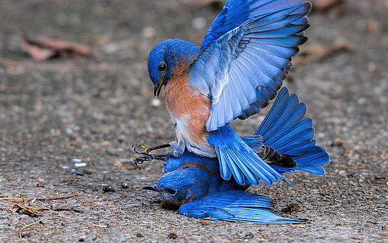 Bluebirds Fighting 011020164802 by WildBird Photographs