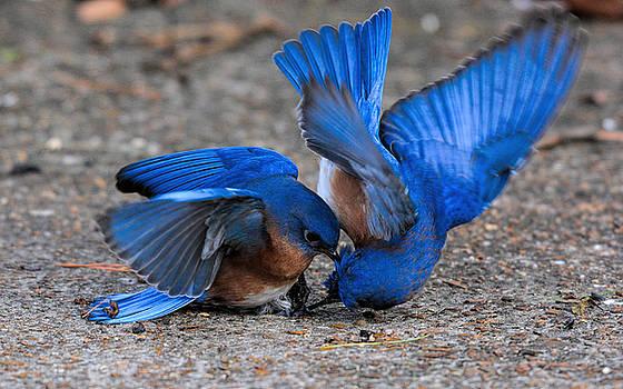 Bluebirds Fighting 011020164815 by WildBird Photographs