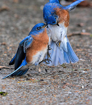 Bluebirds Fighting 011020164816 by WildBird Photographs