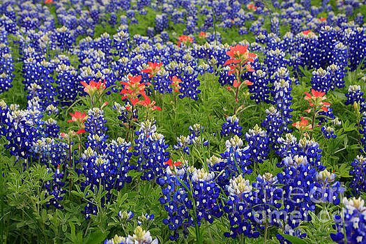 Bluebonnet Indian Painbrush by Jerry Bunger