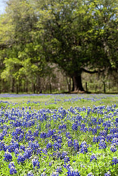 Bluebonnets and Oak by Justin Bower