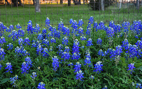 Michael Ziegler - Bluebonnets at the Gate