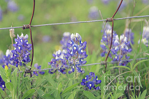 Bluebonnets By The Fence by Cathy Alba