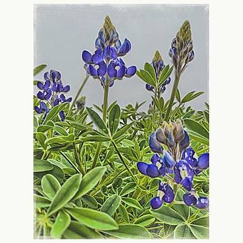 #bluebonnets #flowers #nature by Judy Green
