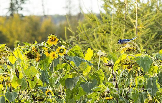 Alanna DPhoto - Bluejay and Sunflowers