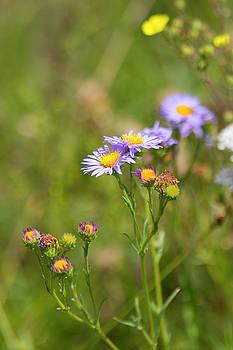 Bluff Lake CA Wild Flowers 7 by Chris Brannen