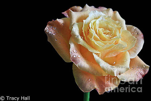 Blush Baby Rose by Tracy Hall