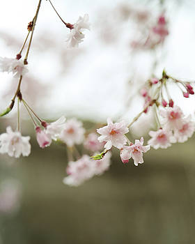 Blush Pink Cherry Blossoms on Brown by Brooke T Ryan