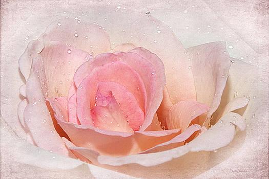 Blush Pink Dewy Rose by Phyllis Denton
