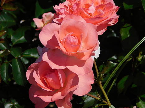 Blushing Roses by Catherine Gagne