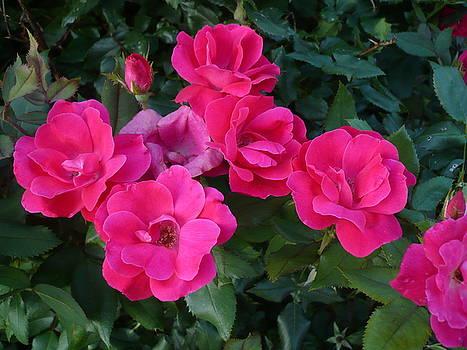 Blushing Roses by Stephen Davis
