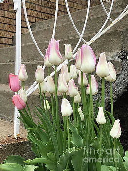 Blushing Tulips by Brandy Woods