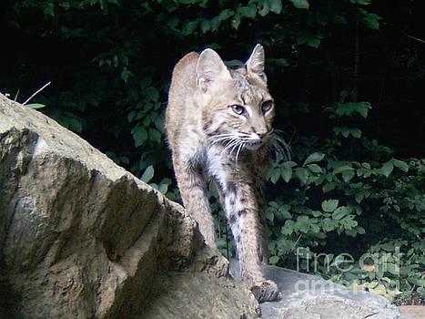 Bobcat Hunting by Steve Gass