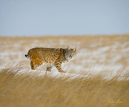 Bobcat in Sunlight  by Rikk Flohr