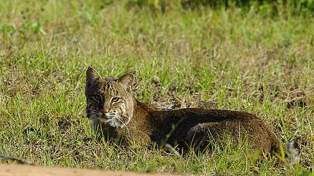 Bobcat In The Sun by Patrick Anderson