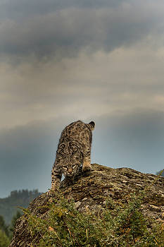 Bobcat kitten eyeing its prey by Roy Nierdieck