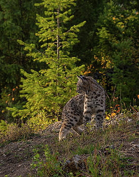 Bobcat kitten in the morning by Roy Nierdieck