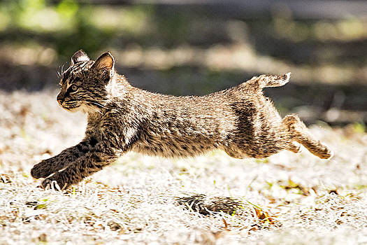 Bobcat Kitten on the Run by Michael White