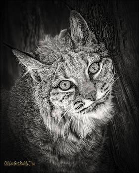 LeeAnn McLaneGoetz McLaneGoetzStudioLLCcom - Bobcat Monochrome